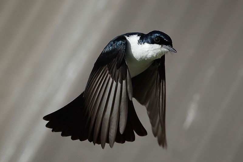 File:Restless flycatcher04.jpg
