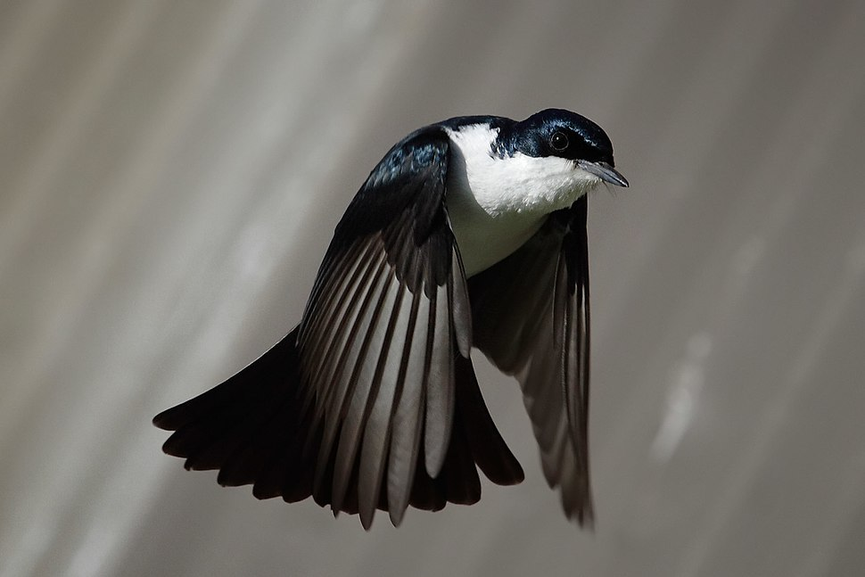 Restless flycatcher04