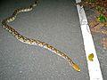 Reticulated Python (Broghammerus reticulatus) (7109833745).jpg