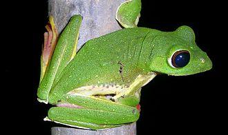 Mhadei Wildlife Sanctuary - Malabar flying frog
