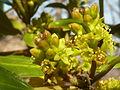 Rhamnus alaternus, manlike blomme, Meiringskloof, a.jpg