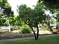 Rhamnus catharthica tree size.jpg