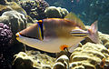 Rhinecanthus assasi - Rotmeer-Picassodrueckerfisch 0532a.jpg