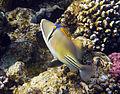 Rhinecanthus assasi - Rotmeer-Picassodrueckerfisch 0953a.jpg