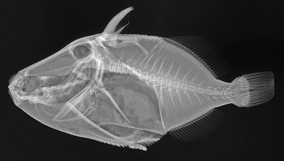 Rhinecanthus rectangulus X-ray