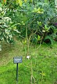 Rhizophora mucronata - Shinjuku Gyo-en Greenhouse - Tokyo, Japan - DSC05832.jpg