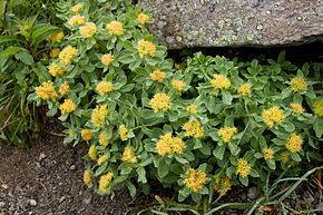 Description de l'image Rhodiola rosea 03.jpg.