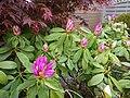 Rhododendron - panoramio (3).jpg