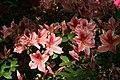 Rhododendron Ben Morrison 0zz.jpg