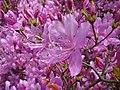 Rhododendron dilatatum2.jpg