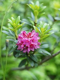 Rhododendron ferrugineum (flowers)