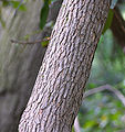 Rhododendron maxima Trunk Bark 2090px.jpg