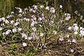 Rhododendron schlippenbachii CFGk537.jpg
