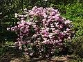 Rhododendron williamsianum.jpg