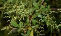 Rhus mysorensis (Mysore Sumac) W IMG 3600.jpg