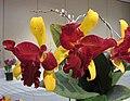 Rhyncattleanthe Jong Jou Moat '金梅花' x Brassolaeliocattleya Tzeng-Wen Beauty '布袋' -香港沙田國蘭展 Shatin Orchid Show, Hong Kong- (25048123562).jpg