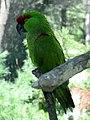 Rhynchopsitta pachyrhyncha -Queens Zoo -NY.jpg