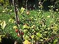 Ribes uva-crispa in Czech Republic.jpg