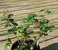 Ribes viburnifolium - Flickr - peganum (1).jpg