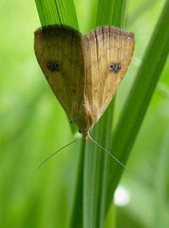 <i>Rivula</i> Genus of moths