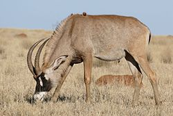 Roan Antilope (Hippotragus equinus) male grazing ... (30280893990).jpg