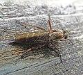 Robber fly, Machimus atricapillus (20621354020).jpg