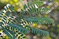 Robinia pseudoacacia - black locust - Robinie - robinier faux-acacia 03.jpg