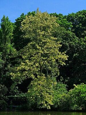 English: Robinia pseudoacacia, Fabaceae, Black...