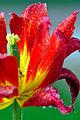 Romania-1824 - Tulip - well done (7664284686).jpg