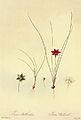 Romulea bulbocodium in Les liliacees.jpg