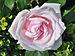 Rosa 'La Nina' qtl1.jpg