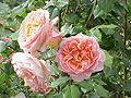 Rosa sp.18.jpg