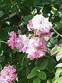 Rosa sp.97.jpg