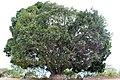 Rosales - Ficus benghalensis - 1.jpg