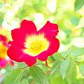 Rose, Cocktail, バラ, カクテル, (14152099555).jpg