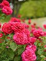 Rose, L.D.Braithwaite, バラ, L.D. ブレスウェイトゥ, (12870848074).jpg