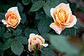 Rose, Manyo - Flickr - nekonomania (9).jpg