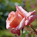 Rose, Tangerina, バラ, タンジェリーナ, (15362983558).jpg