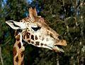 Rothschild's giraffe. FZ200 (14157028007).jpg
