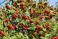Rowan berries.jpg