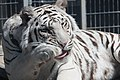 Royal White Bengal Tiger cleaning self at Cougar Mountain Zoological Park 2.jpg