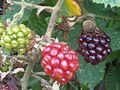 Rubus fruticosus wetland 15.jpg
