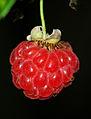 Rubus idaeus - fruit.jpg