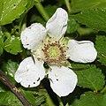 Rubus illecebrosus (flower s7).jpg