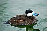 Ruddy Duck at Whipsnade Zoo.jpg