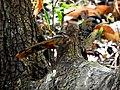 Rufous-chinned Laughingthrush Garrulax rufogularis at Sattal DSCN0098 1.jpg