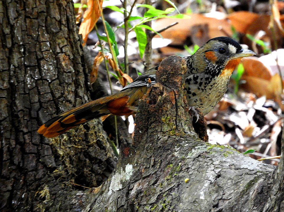 Rufous-chinned Laughingthrush Garrulax rufogularis at Sattal DSCN0098 1