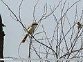 Rufous-tailed Shrike (Lanius isabellinus) (37339030100).jpg