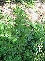Ruscus aculeatus01.jpg