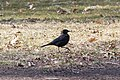 Rusty Blackbird in Brooklyn 2.jpg